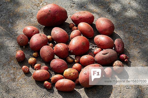 Hochwinkelaufnahme von roten Kartoffeln auf dem Land im Betrieb