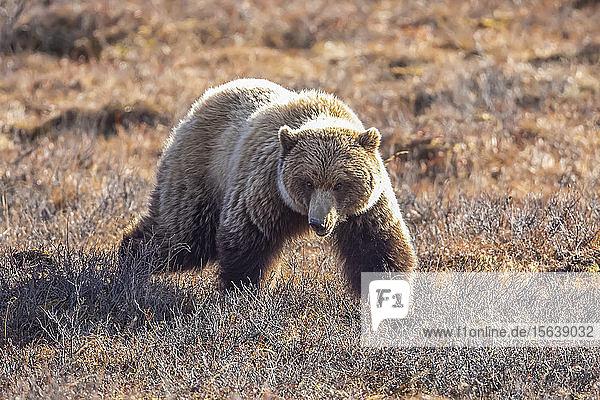 A Grizzly bear (Ursus arctos horribilis) struts towards the photographer's car  Interior Alaska  Denali National Park and Preserve; Alaska  United States of America
