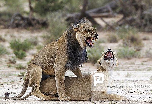 Kalahari-Löwen (Panthera leo vernayi)  Alttiere  Tierpaar bei der Paarung  Kalahari-Wüste  Kgalagadi-Transfrontier-Nationalpark  Südafrika