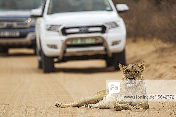 Löwin (Panthera leo)  Weibchen ruht auf Straße  dahinter Geländewagen mit Touristen auf einer Safari  Kalahari-Wüste  Kgalagadi Transfrontier Park  Südafrika