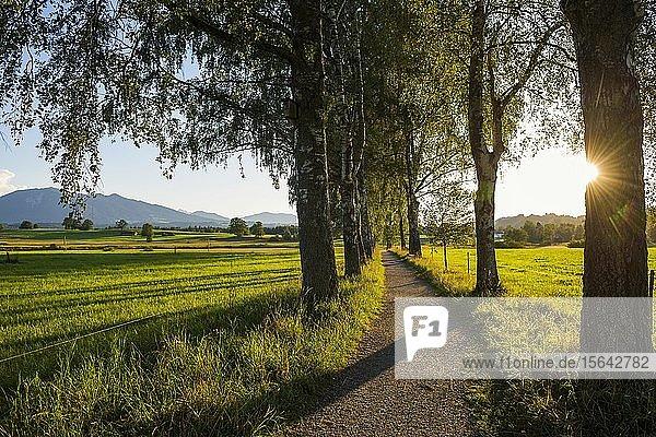 Weg und Birkenallee  Sonnenuntergang  bei Uffing  Oberbayern  Bayern  Deutschland  Europa