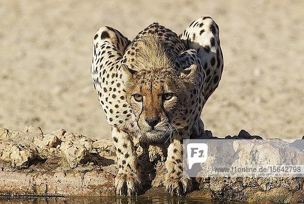 Gepard (Acinonyx jubatus)  Weibchen an einem Wasserloch  Kalahari-Wüste  Kgalagadi Transfrontier Park  Südafrika