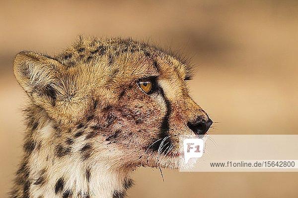 Cheetah (Acinonyx jubatus)  female  animal portrait with bluddy mouth  Kalahari Desert  Kgalagadi Transfrontier Park  South Africa  Africa