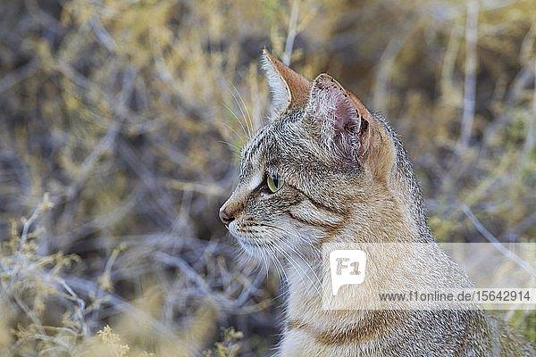 Falbkatze (Felis silvestris lybica)  Tierportrait  Kalahari-Wüste  Kgalagadi-Transfrontier-Nationalpark  Südafrika
