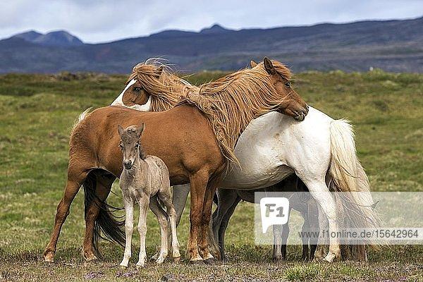 Islandpferde (Equus islandicus)  Stuten und Hengst-Fohlen stehen auf einer Koppel  Island  Europa