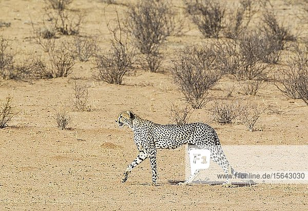 Gepard (Acinonyx jubatus)  subadultes Männchen geht im trockenen und kargen Auob Flussbett  Kalahari-Wüste  Kgalagadi Transfrontier Park  Südafrika