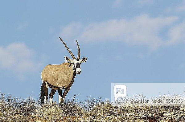 Spießbock (Oryx gazella)  Männchen auf einem Felskamm  Kalahari-Wüste  Kgalagadi-Transfrontier-Nationalpark  Südafrika