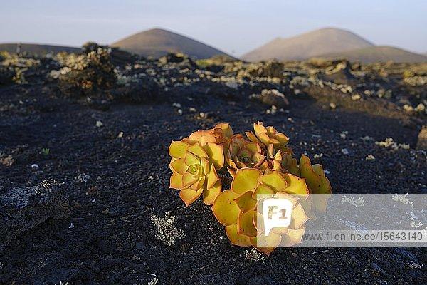 Dickblattgewächs (Aeonium lancerottense) auf Lavafelsen  Schutzgebiet Monumento Natural de la Cueva de los Naturalistas  bei Tinajo  Lanzarote  Kanaren  Spanien  Europa