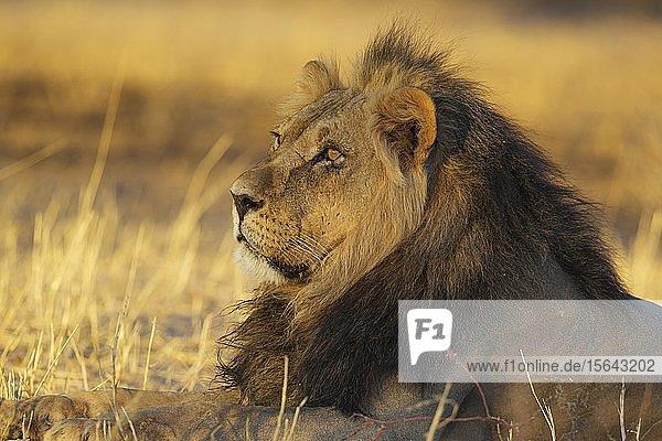 Kalahari-Löwe (Panthera leo vernayi)  Männchen  ruhend im frühen Morgenlicht  Kalahari-Wüste  Kgalagadi Transfrontier Park  Südafrika