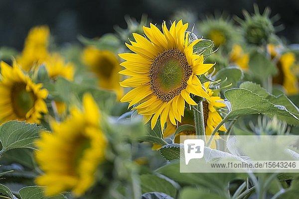 Sonnenblumen (Helianthus annuus) in einem Feld  in voller Blüte  Niederösterreich  Österreich  Europa