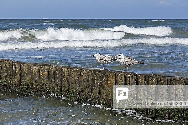 Silbermöwen (Larus argentatus)  Jungtiere auf einer Buhne  Wustrow  Mecklenburg-Vorpommern  Deutschland  Europa