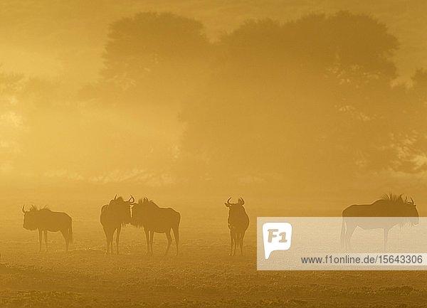 Streifengnus (Connochaetes taurinus)  Herde bei Sonnenaufgang  Silhouetten  Kalahari-Wüste  Kgalagadi Transfrontier Park  Südafrika