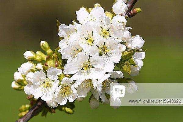 Kirschblüten  Wildkirsche (Prunus avium)  Baden-Württemberg  Deutschland  Europa