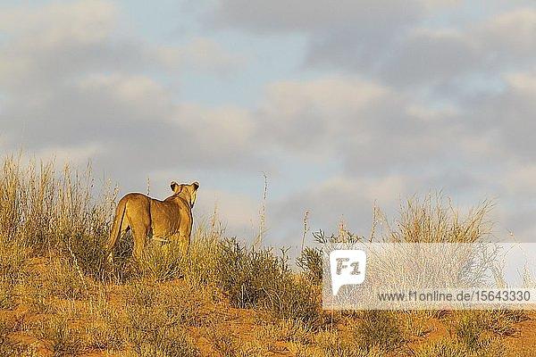 Löwin (Panthera leo)  Weibchen  beobachtet ihre Umgebung vom Grat einer grasbewachsenen Sanddüne  Kalahari-Wüste  Kgalagadi Transfrontier Park  Südafrika