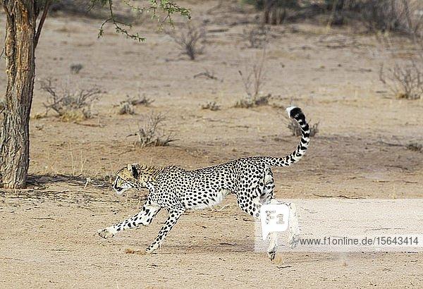 Gepard (Acinonyx jubatus)  verspieltes subadultes Männchen  Kalahari-Wüste  Kgalagadi Transfrontier Park  Südafrika