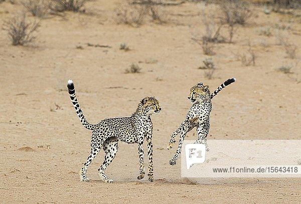 Geparde (Acinonyx jubatus)  zwei subadulte Männchen spielen im trockenen und kargen Auob Flussbett  Kalahari-Wüste  Kgalagadi Transfrontier Park  Südafrika