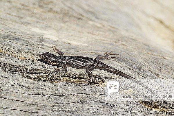 Kalahari Baumskink (Trachylepis spilogaster)  Kalahari-Wüste  Kgalagadi-Transfrontier-Nationalpark  Südafrika