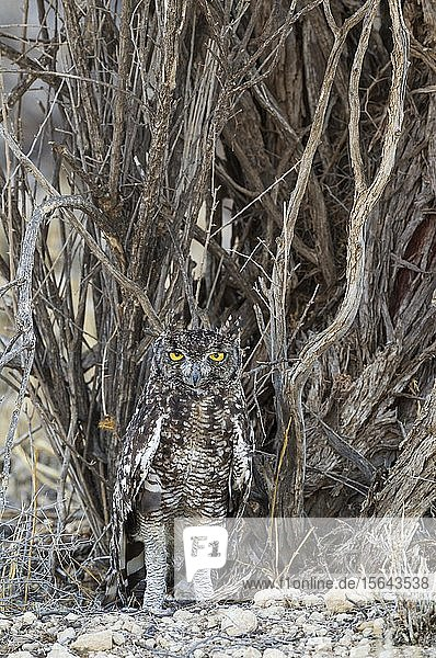 Fleckenuhu (Bubo africanus)  getarnt  Kalahari-Wüste  Kgalagadi Transfrontier Park  Südafrika