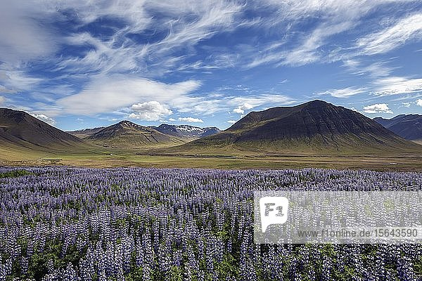 Blue flowering Nootka lupins (Lupinus nootkatensis) in front of volcanic mountains  cloud formation. near Pingeyri  Westfjords  Iceland  Europe