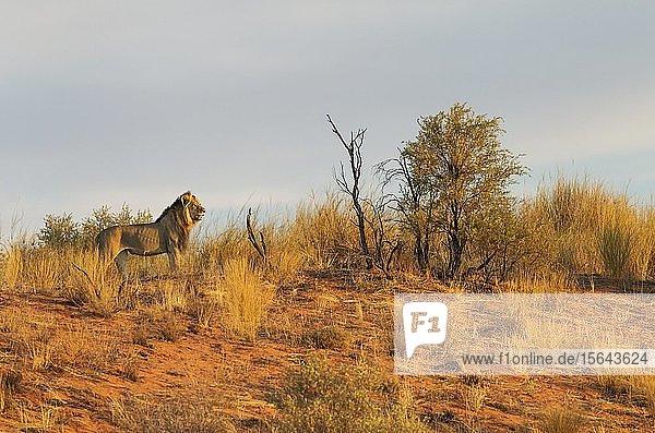 Kalahari-Löwe (Panthera leo vernayi)  Männchen  auf dem Grat einer grasbewachsenen Sanddüne  Abendlicht  Kalahari-Wüste  Kgalagadi Transfrontier Park  Südafrika