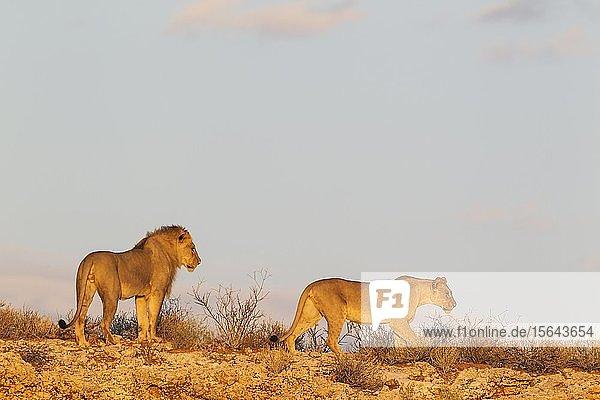 Kalahari-Löwen (Panthera leo vernayi)  Tierpaar  Männchen und Weibchen  auf einem felsigen Grat  Kalahari-Wüste  Kgalagadi Transfrontier Park  Südafrika