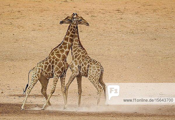 Kapgiraffen (Giraffa camelopardalis giraffa)  Männchen kämpfen im trockenen und kargen Auob Flussbett  Kalahari-Wüste  Kgalagadi Transfrontier Park  Südafrika