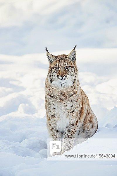 Europäischer Luchs (Lynx lynx) im Winter  captive  Nationalpark Bayerischer Wald  Bayern  Deutschland  Europa