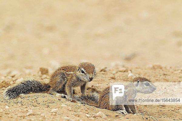 Kap-Borstenhörnchen (Xerus inauris)  zwei Jungtiere  Kalahari-Wüste  Kgalagadi Transfrontier Park  Südafrika