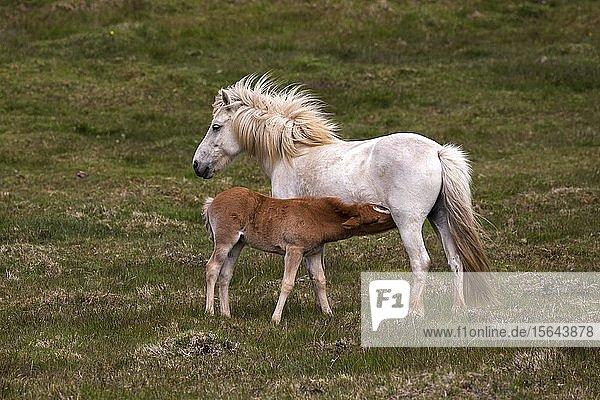 Islandpferde (Equus islandicus)  Stute und Hengst-Fohlen stehen auf einer Koppel  Island  Europa