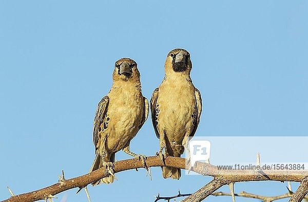 Siedelweber (Philetairus socius)  sitzend  Kalahari-Wüste  Kgalagadi Transfrontier Park  Südafrika