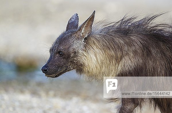 Schabrackenhyäne (Hyaena brunnea)  Tierportrait  Kalahari-Wüste  Kgalagadi-Transfrontier-Nationalpark  Südafrika