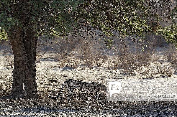 Gepard (Acinonyx jubatus)  addultes Männchen unter einem Kameldornbaum (Acacia erioloba)  Kalahari-Wüste  Kgalagadi Transfrontier Park  Südafrika