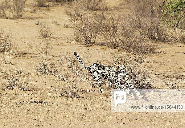 Gepard (Acinonyx jubatus)  rennt Männchen geht im trockenen und kargen Auob Flussbett  Kalahari-Wüste  Kgalagadi Transfrontier Park  Südafrika