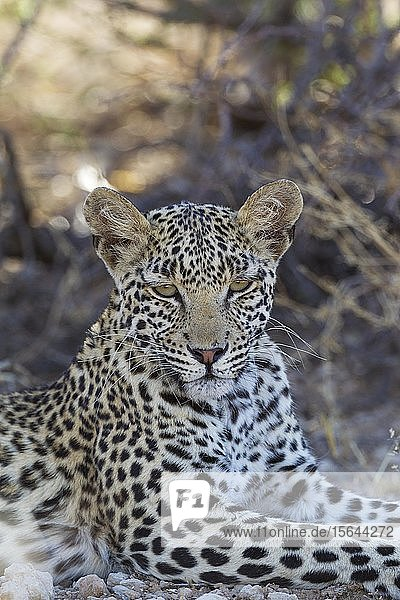 Leopard (Panthera pardus)  junges Weibchen  ruhend  Tierportrait  Kalahari-Wüste  Kgalagadi Transfrontier Park  Südafrika