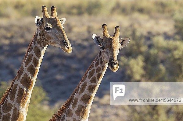 Kapgiraffen (Giraffa camelopardalis giraffa)  zwei Männchen  Kalahari-Wüste  Kgalagadi Transfrontier Park  Südafrika
