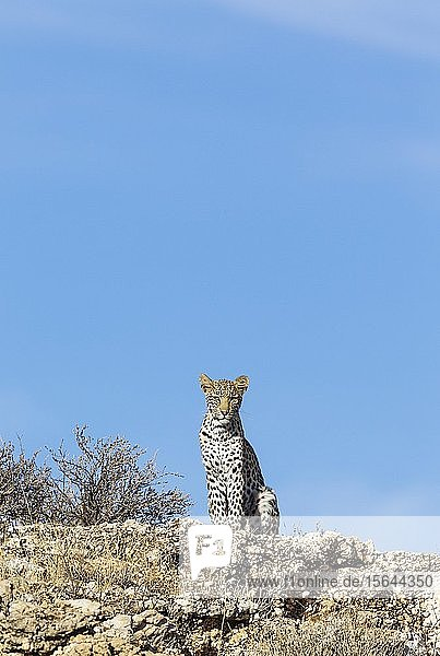 Leopard (Panthera pardus)  junges Weibchen beobachtet Umgebung von einem felsigen Grat aus  Kalahari-Wüste  Kgalagadi Transfrontier Park  Südafrika