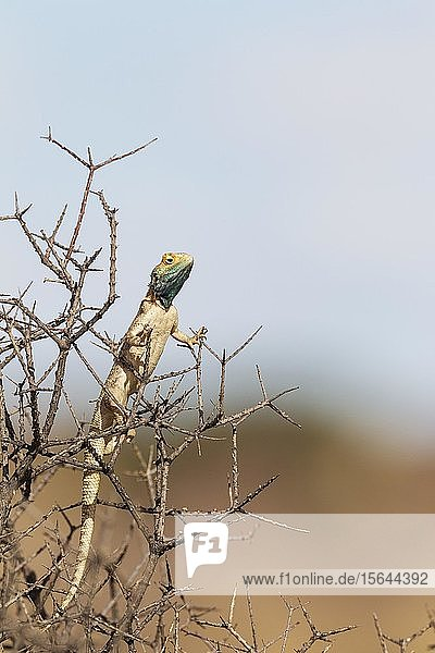 Rote Stachelagame (Agama aculeata)  auf niedrigem Gebüsch  Kalahari-Wüste  Kgalagadi Transfrontier Park  Südafrika