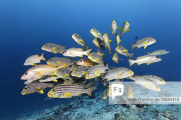 Schwarm Orientalische Süßlippen (Plectorhinchus vittatus) mit Einfleck-Schnapper (Lutjanus monostigma),  Großes Barriereriff,  Unesco Weltnaturerbe,  Pazifik,  Australien,  Ozeanien