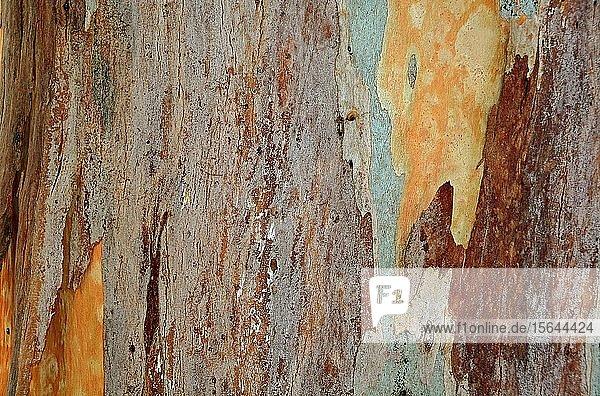 Rinde eines Eukalyptusbaumes (Eucalyptus)  Detail  Kreta  Griechenland  Europa