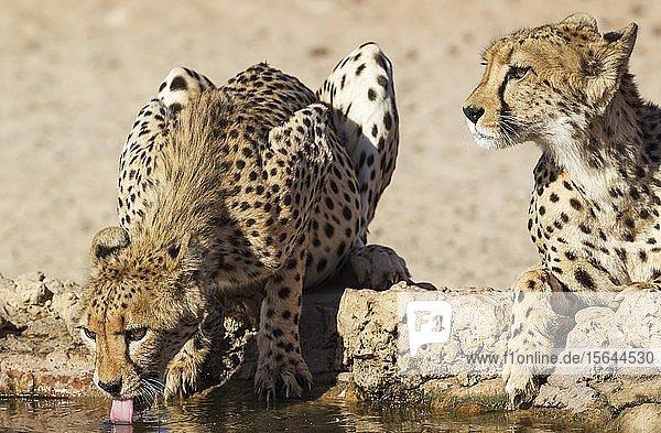 Geparde (Acinonyx jubatus)  zwei Weibchen trinken an einem Wasserloch  Kalahari-Wüste  Kgalagadi Transfrontier Park  Südafrika