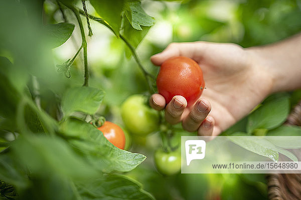 Gardener picking ripe Crimson Crush tomatoes in late summer in greenhouse of organic vegetable garden
