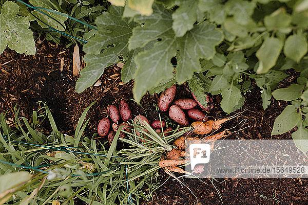Kartoffeln und Möhren am Boden