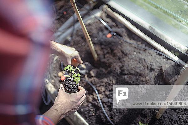 Gärtner pflanzt im Frühjahr im Gewächshaus im Bio-Gemüsegarten Tomatensämlinge aus