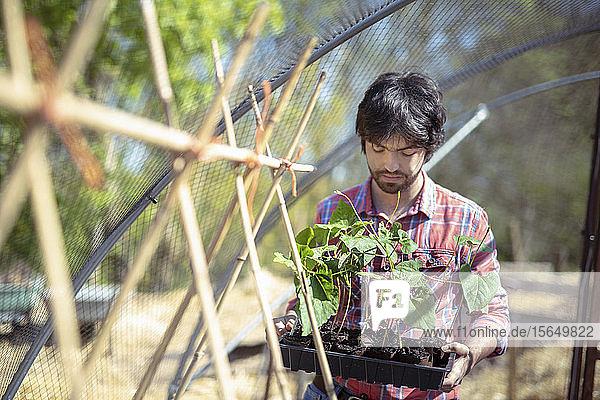 Porträt eines Gärtners  der im Frühling im Bio-Gemüsegarten Ausläuferbohnen-Setzlinge pflanzt
