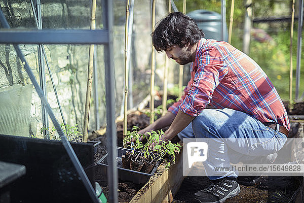 Gardener planting out tomato seedlings in greenhouse in spring in organic vegetable garden