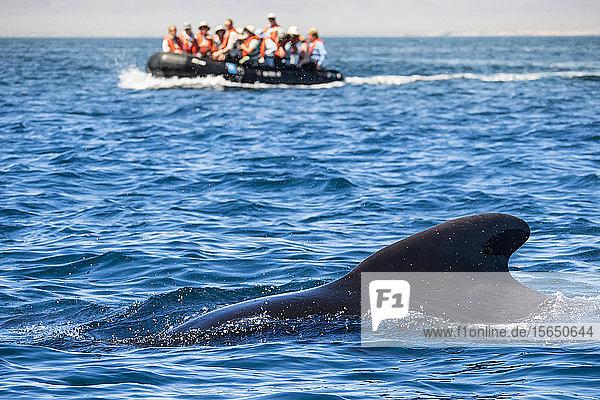 Short-finned pilot whale (Globicephala macrorhynchus)  with Zodiacs off Isla San Marcos  Baja California Sur  Mexico
