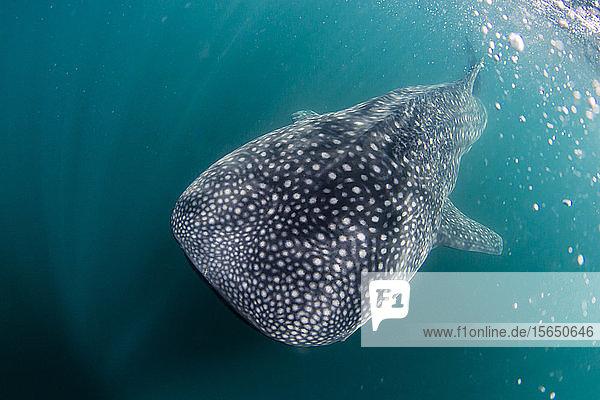 Juvenile whale shark (Rhincodon typus)  underwater near Los Islotes  Baja California Sur  Mexico