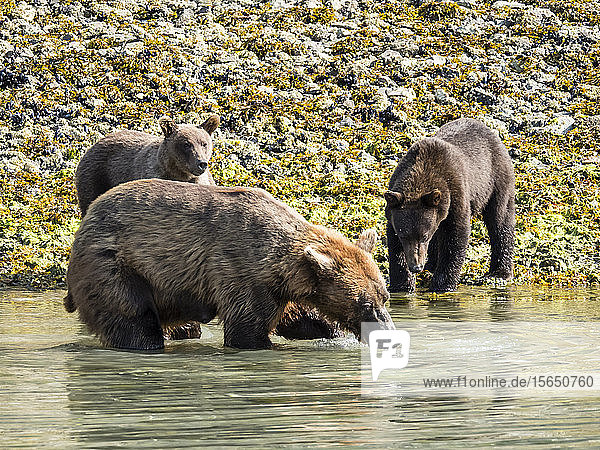 A mother brown bear (Ursus arctos)  feeding with her cubs in Geographic Harbor  Katmai National Park  Alaska  United States of America
