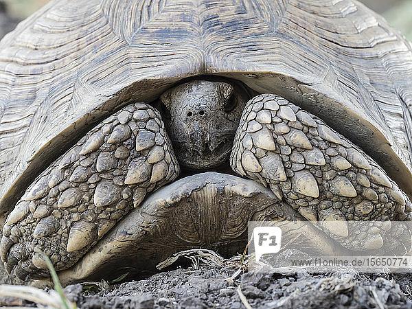 An adult leopard tortoise (Stigmochelys pardalis)  South Luangwa National Park  Zambia
