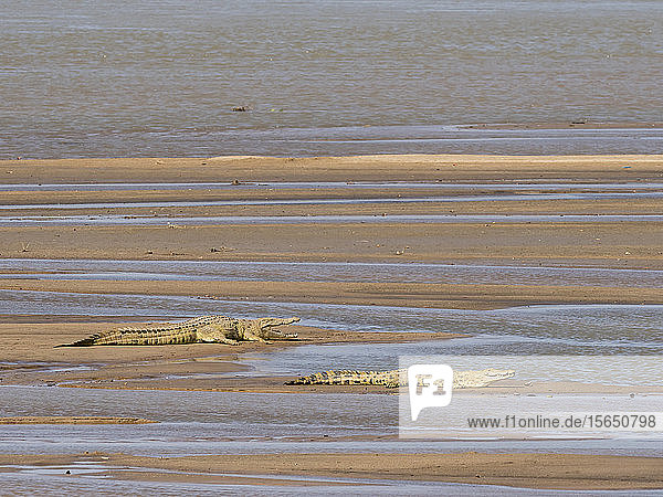 Adult Nile crocodiles (Crocodylus niloticus) basking in the sun in South Luangwa National Park  Zambia